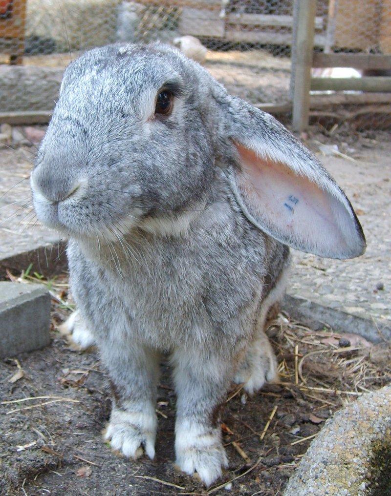 Mittelgroße kaninchen 3 4kg aus labortierhaltung männlich in den